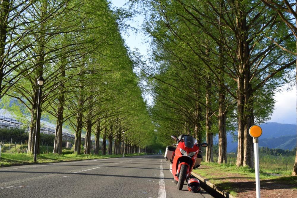 新縁のメタセコイア並木