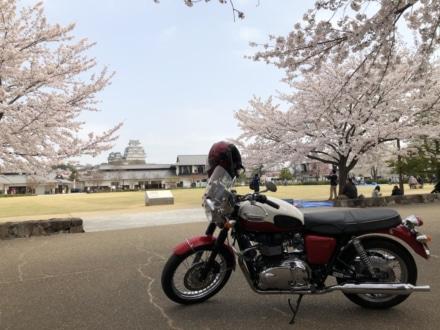 Bonnieと桜と姫路城