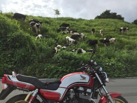 ふと見たら、牛が沢山驚いた