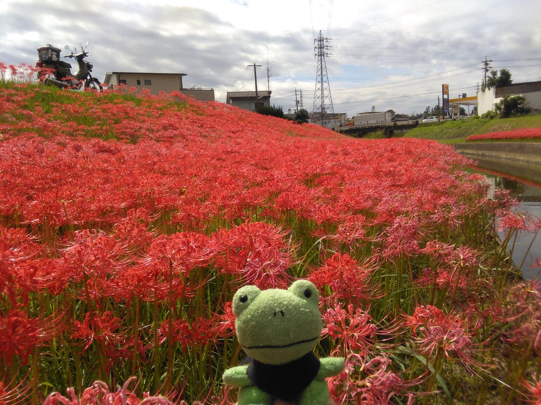 クロスカブで彼岸花を見に行ってきました~!