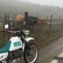 牛とジェベル
