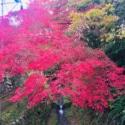 見事な紅葉とコマジェ