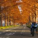 朝日に輝くメタセコイア並木