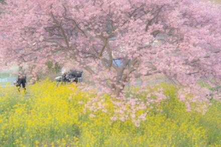 河津桜と菜の花と、旅ライダー