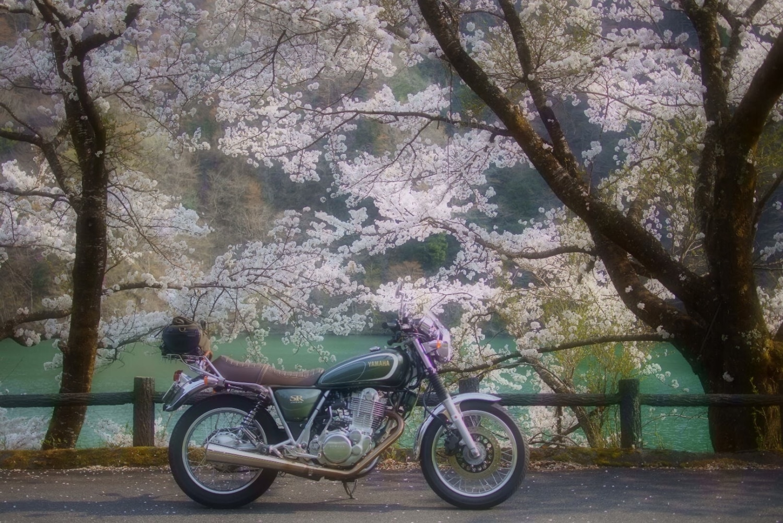 桜吹雪が舞う湖畔で