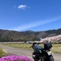桜並木と芝桜