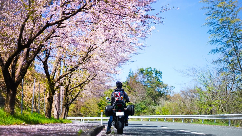 つい、立ち止まって。見上げた桜