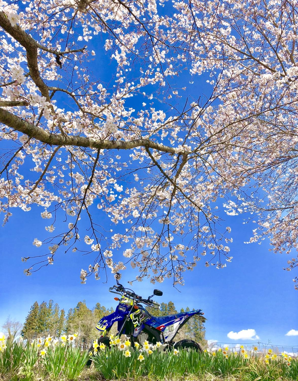 桜とスイセンとWR