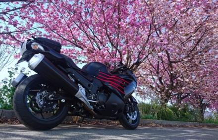 遅めの『桜&忍者』