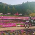 朝日の中、満開の芝桜